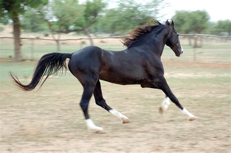 horse marwari horses india stallion gajraj indigenous indian ponies native wild
