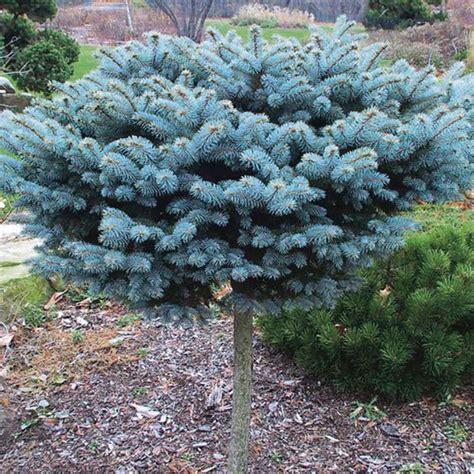 garden grass for sale globe blue spruce standard 39 globosa 39 picea pungens glauca