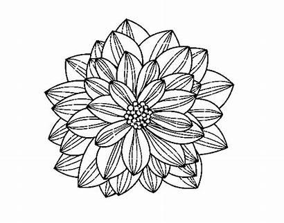 Dahlia Flower Para Colorear Coloring Dibujo Dalia