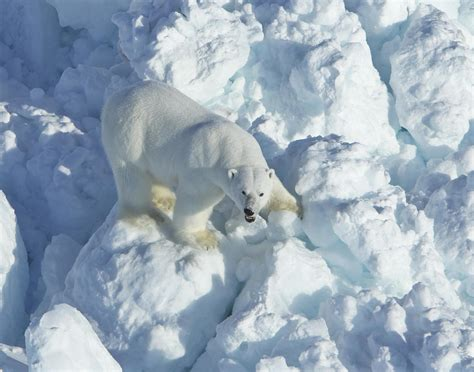 faster moving sea ice forces polar bears