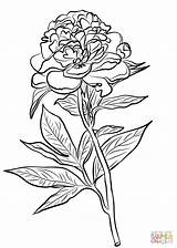 Coloring Peony Pages Chinese Drawing Flower Flowers Printable Line Cardinals Peonies Colorings Supercoloring Cardinal Indiana Bird Getdrawings Louis St Watercolor sketch template