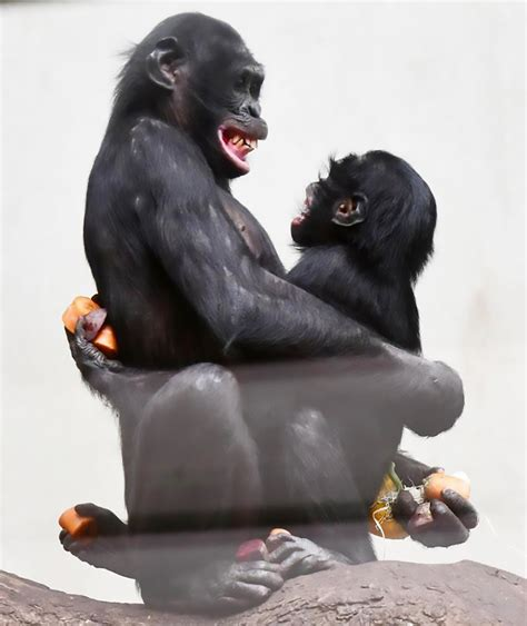 Brit Chimp Bili Now Has Two Girlfriends To Cheer Him Up ...