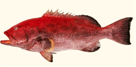 mycteroperca grouper yellowfin venenosa ncfishes fishes carolina north