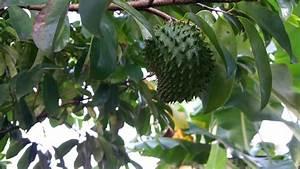 Arbol De Guan U00e1bana O Graviola En Detalle  Fruta Milagrosa
