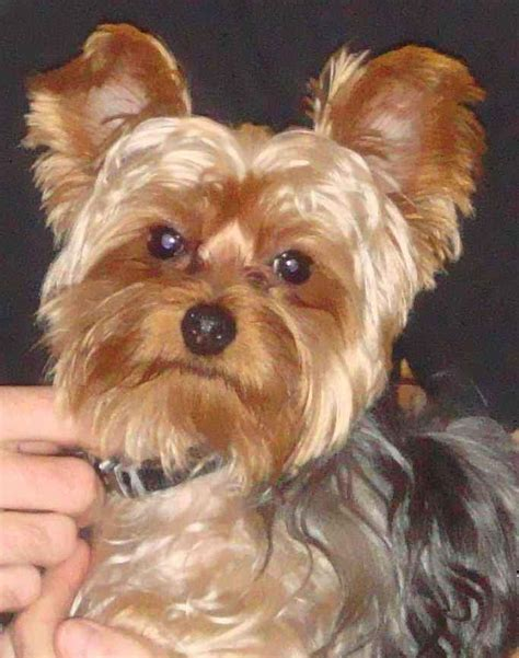 cute yorkie puppies  adoption spain pictures  print  litle pups