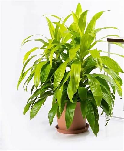 Dracaena Limelight Plants Indoor Popsugar Houseplants Indoors