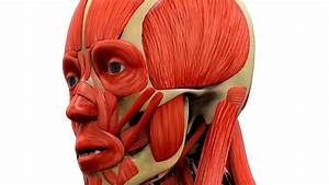 9 Muscles Of The Head And Jaw