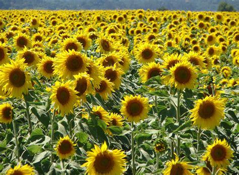 Girassóis - Planta e Fotos | Flores - Cultura Mix