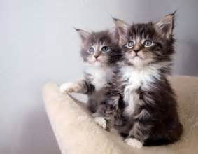 free cats me maine coons kittens photo free