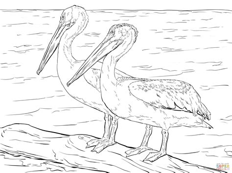 American White Pelicans Coloring Page