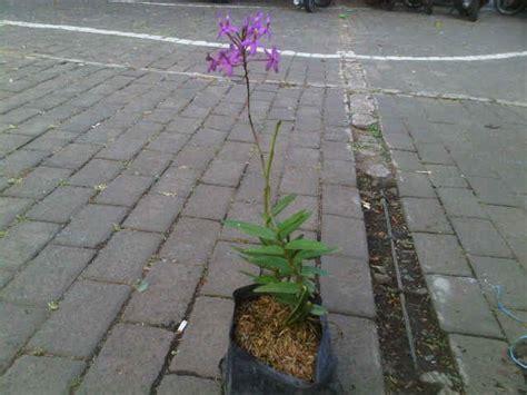 tanaman hias anggrek tanah ungu jual tanaman anggrek merpati ungu bibit