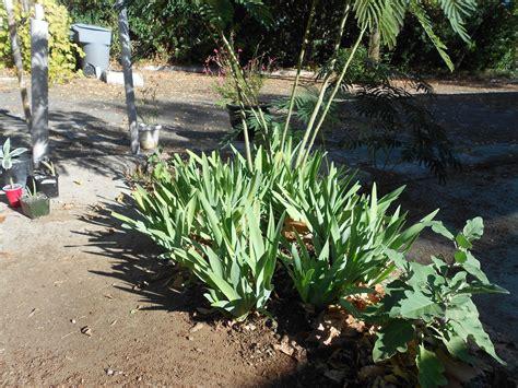 a grower s lessons transplanting iris bulbs