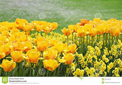primavera in giardino fiori gialli nel giardino di primavera immagine stock
