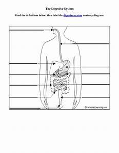 Digestive Diagram