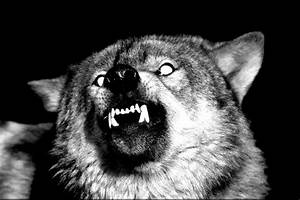 tumblr_static_snarl_b_w.jpg (640×426) | Wolf References ...