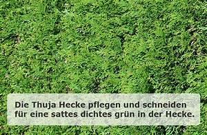 Thuja Hecke Düngen : thuja hecke kaufen und pflegen ~ Lizthompson.info Haus und Dekorationen