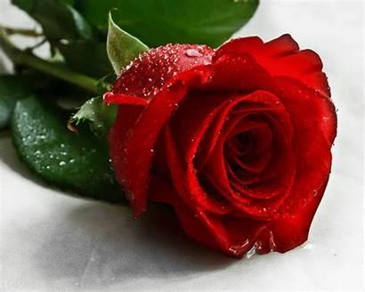 Rose Roses Gifimage
