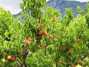 Maladie Pecher Photo : p cher planter et tailler ooreka ~ Dode.kayakingforconservation.com Idées de Décoration