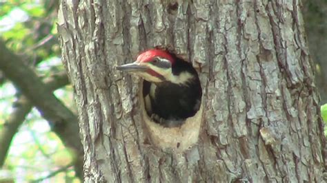 pileated woodpecker nest hole palos area il april 15