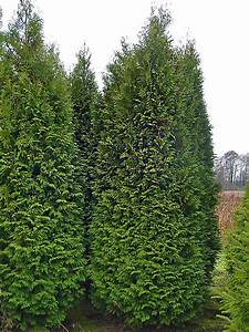 Thuja Brabant Wachstum : thuja occidentalis brabant co5 100 120 cm thuja planet as ~ Michelbontemps.com Haus und Dekorationen