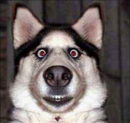Small Calm Non Shedding Dog Breeds by White Wolf Huskies Go Crazy 17 Funny Husky Pictures