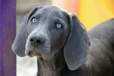 weimaraner colors weimaraner it takes all kinds a by