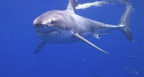 Great White Shark Hanging Out Near
