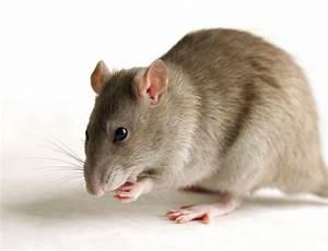 Répulsif Souris Efficace : repousse rongeur electronique sonore ultrason repulsif souris rat fouine blatte ~ Melissatoandfro.com Idées de Décoration
