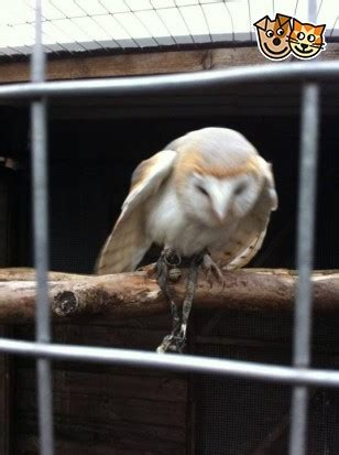 Barn Owl Breeders by Barn Owl For Sale Leyland Lancashire Pets4homes