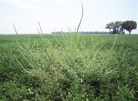 Publication Offers Crop Producers Advice On Invasive Weed Purdue University