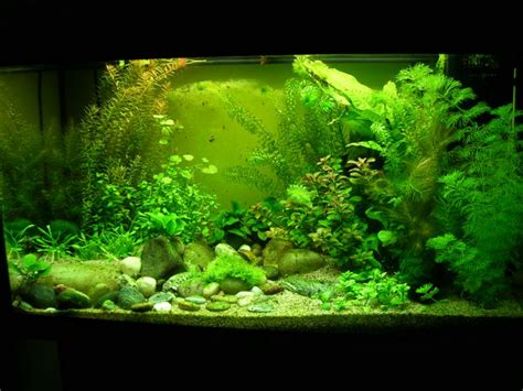 aquarium algues vertes sur le lancement de mon 200 litres