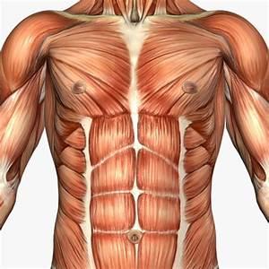Pilates Em S U00c3o Caetano Do Sul   Anatomia Muscular E