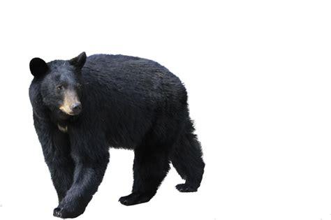 black bear png imagen