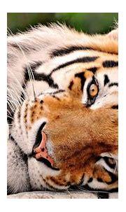 Cute Tiger Wallpaper - WallpaperSafari
