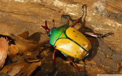 Beetle Colorful Beetles Insect Desktop Wallpapers Insects