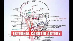 Anatomy Tutorial - External Carotid Artery Branches