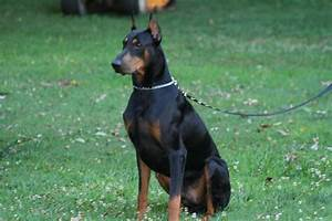 Warlock Doberman Pinscher 18 Wide Wallpaper ...