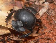 Are Dung Beetles Decomposers