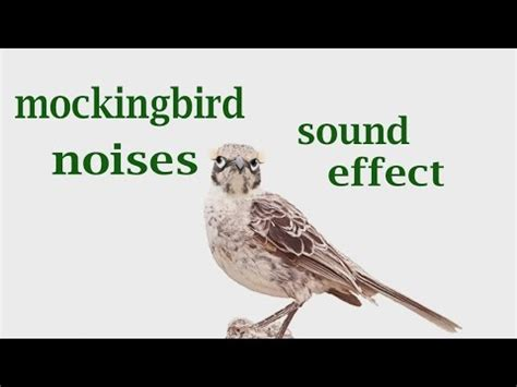 the animal sounds mockingbird noises sound effect