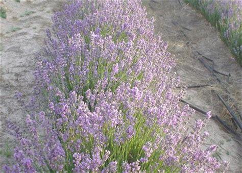 true lavender plants lavandula angustifolia ssp angustifolia