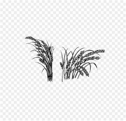 Rice Sketch Crop Plant Sativa Oryza Paintingvalley