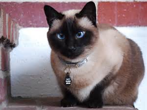 siam cat 12 siamese cat hd wallpapers backgrounds wallpaper abyss