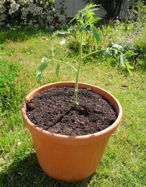 culture tomate en pot planter des tomates en pots jardiner avec jean paul