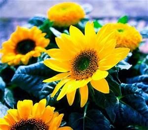 Sonnenblume Im Topf : sonnenblume dehner garten center ~ Orissabook.com Haus und Dekorationen