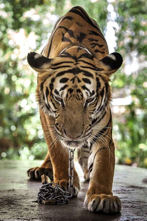 animals thailand behind locked bars zoos cages animal tiger horror chained neck inside very showing caters cage abuse squalid thailands