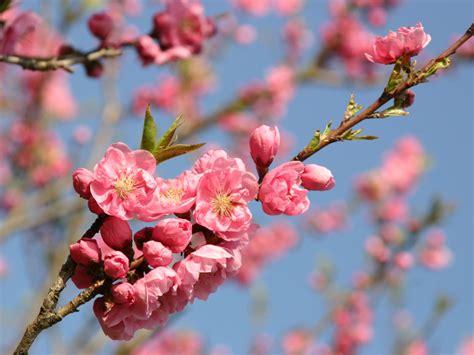 桃の花 写真 に対する画像結果