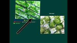Osmosis To Plasmolysis- Plant Cells