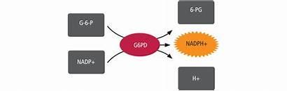 G6pd Neonatal Kit Gsp Assay Principle