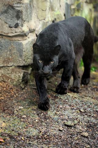 ist das ein jaguar tiere wildnis