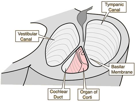 Blank Diagram Of The Cochlea by The Cochlea Of The Inner Ear